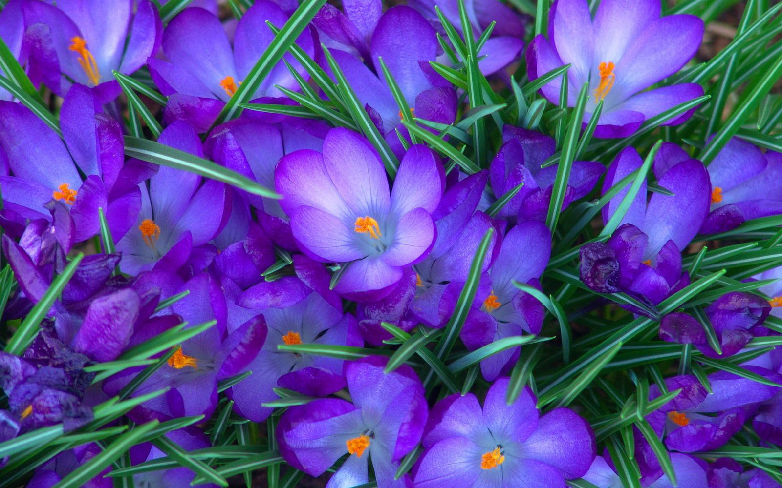 Purple Crocus Flowers Wallpapers   Amazing Picture Collection 1600x1000