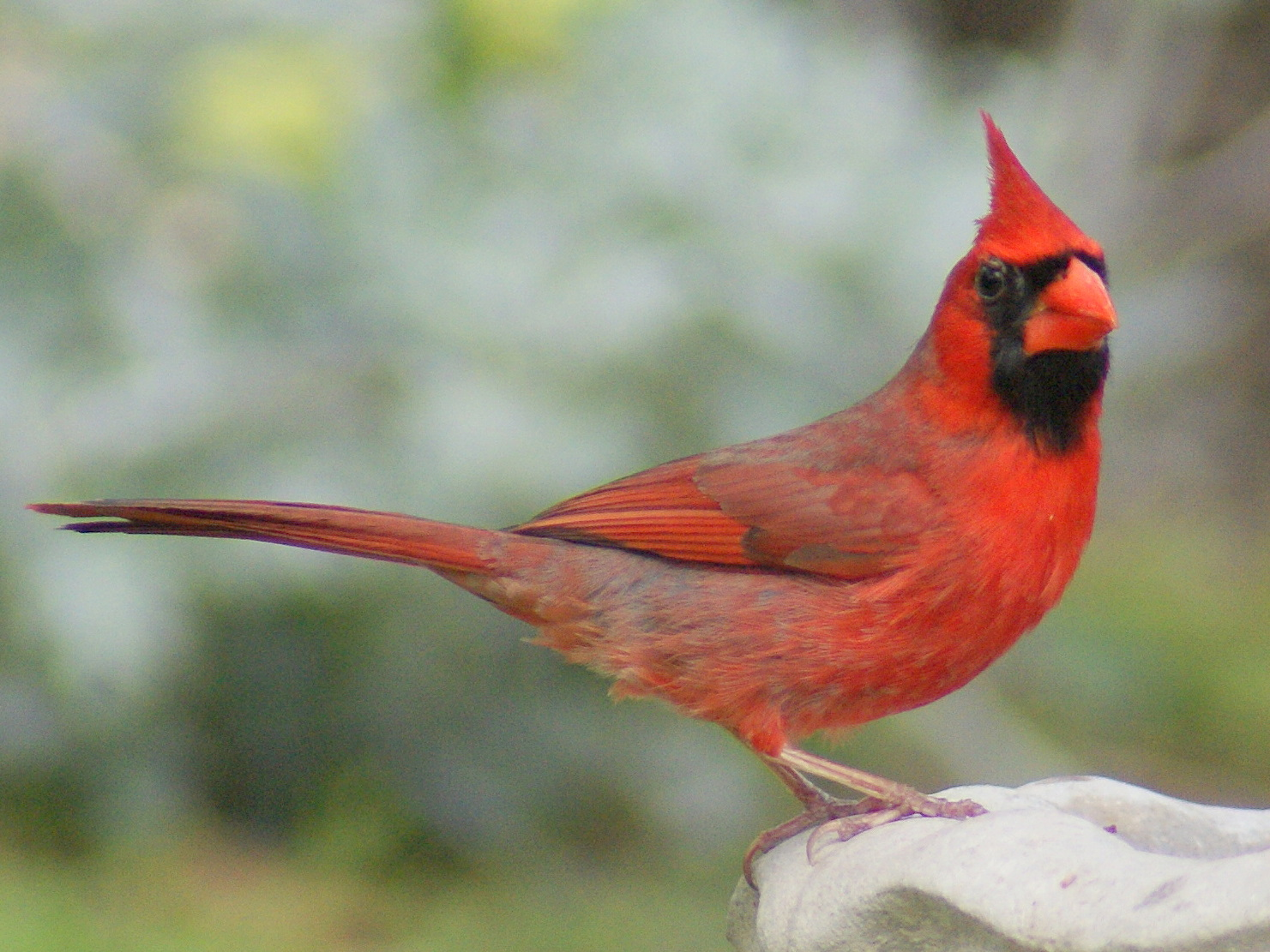 cardinalscardinal birdflying cardinalsweet cardinalsred cardinal 1481x1111