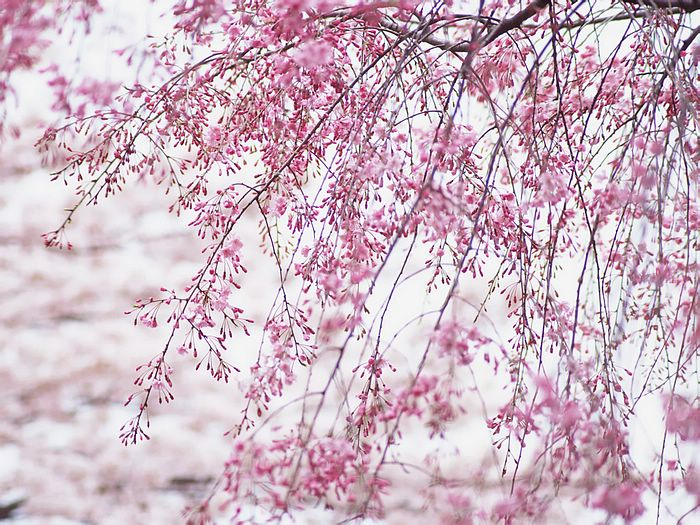 japanese cherry blossom wallpaper Funny Amazing Images 700x525