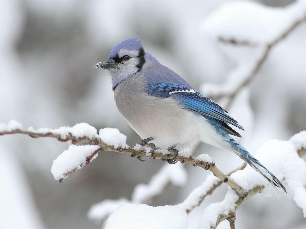 PicturesPool Beautiful Birds in Winter Wallpapers 1024x768