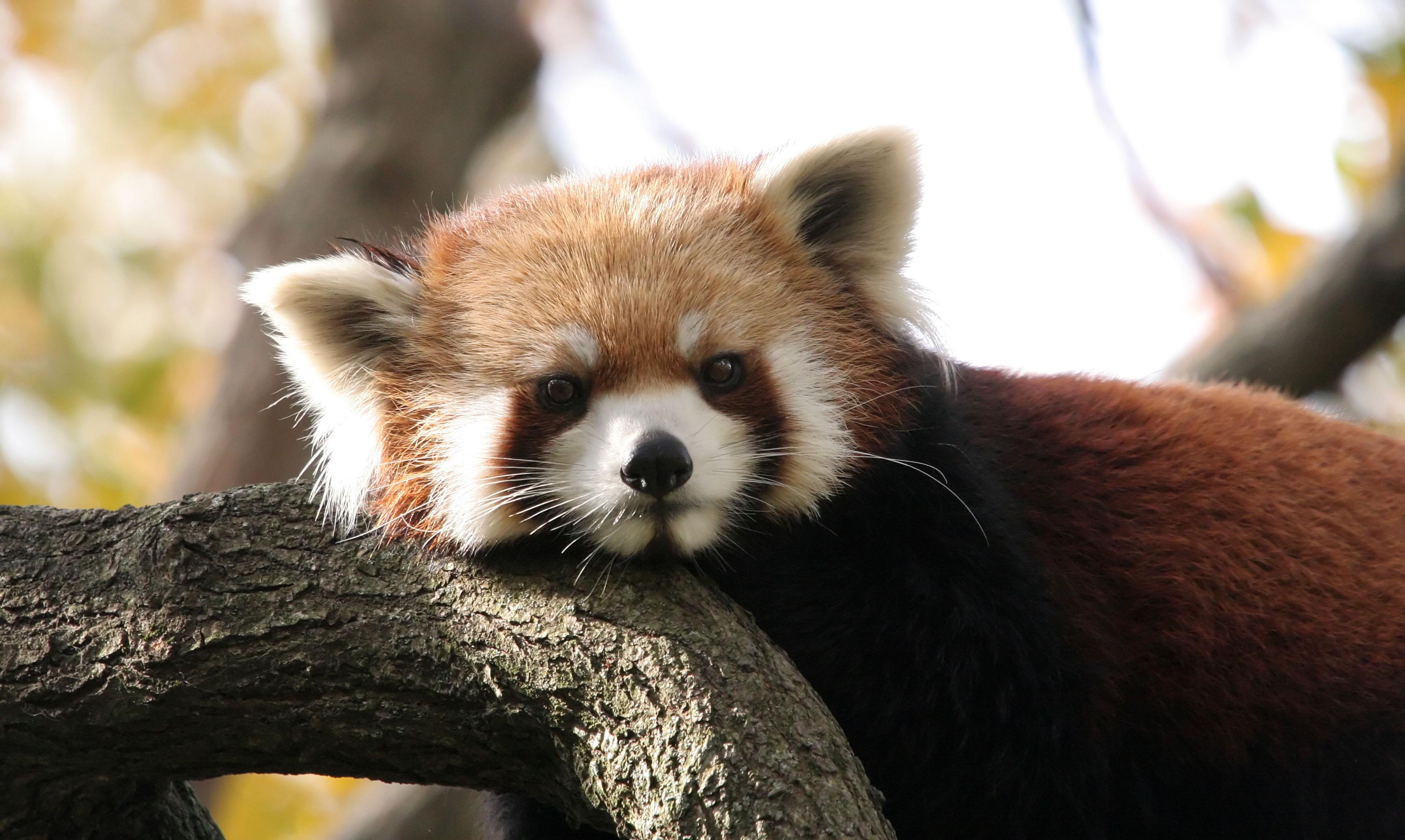 Related Pictures animal panda wallpaper desktop backgrounds 3456x2067