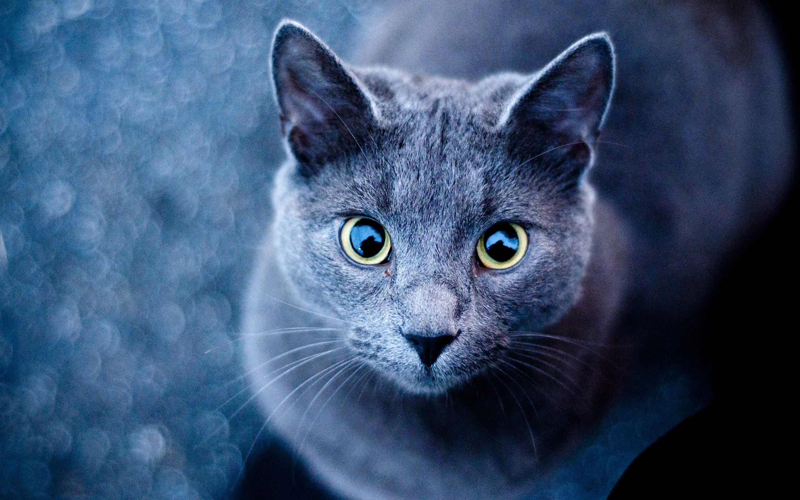 Blue Cat Green Eyes wallpapers Blue Cat Green Eyes stock photos 2560x1600