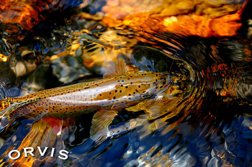Orvis Fly Fishing Contest 12 BWO Flickr Photo Sharing 500x332