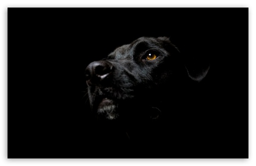Black Dog HD wallpaper for Standard 43 54 Fullscreen UXGA XGA SVGA 510x330