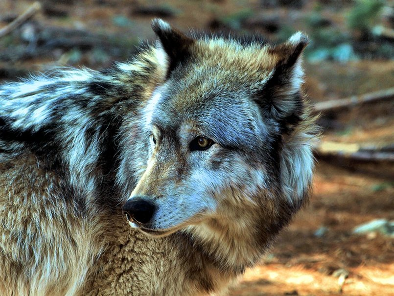 image Grey Wolves Wallpaper PC Android iPhone and iPad Wallpapers 805x605