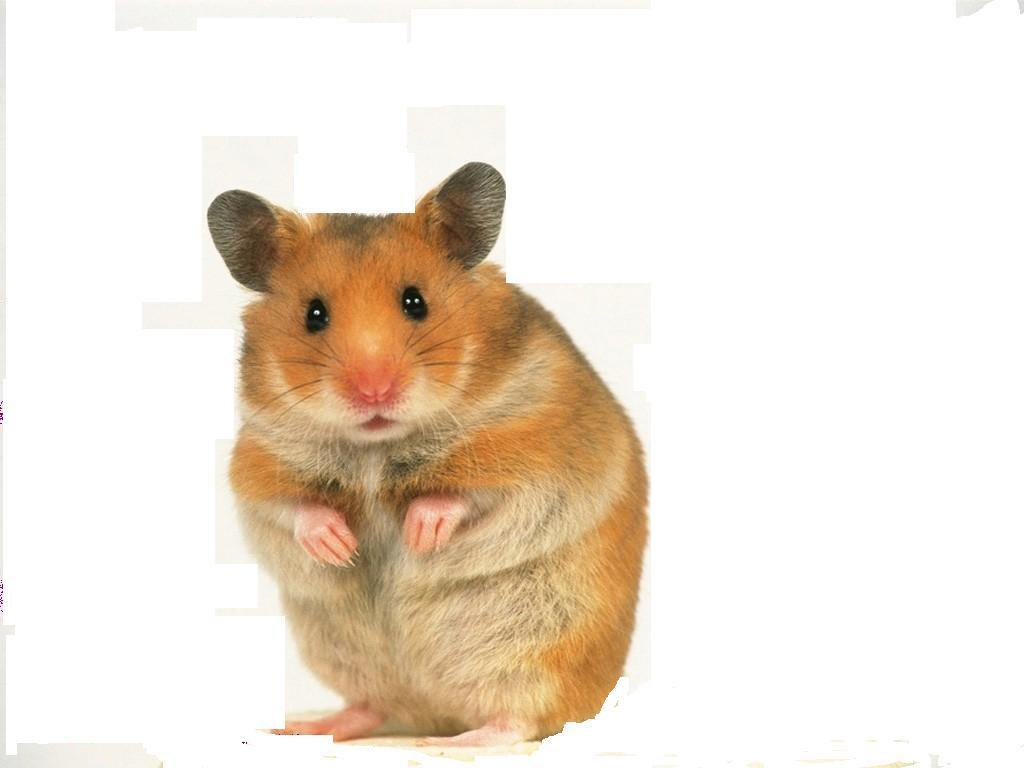 cute hamster   Hamsters Wallpaper 14115944   Page 4 1024x768