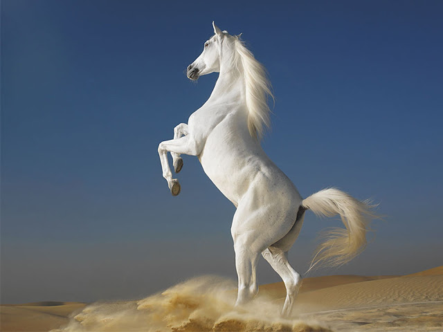 white horse standing in two legs proudly wallpaper hd 640x480