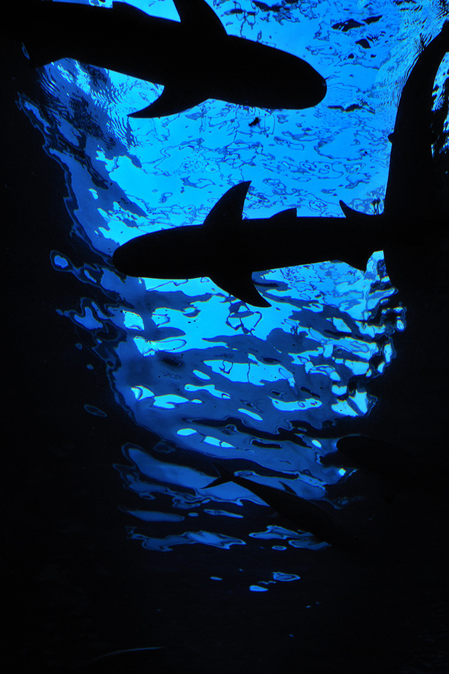 Sharks animals wallpaper for iPhone download 640x960
