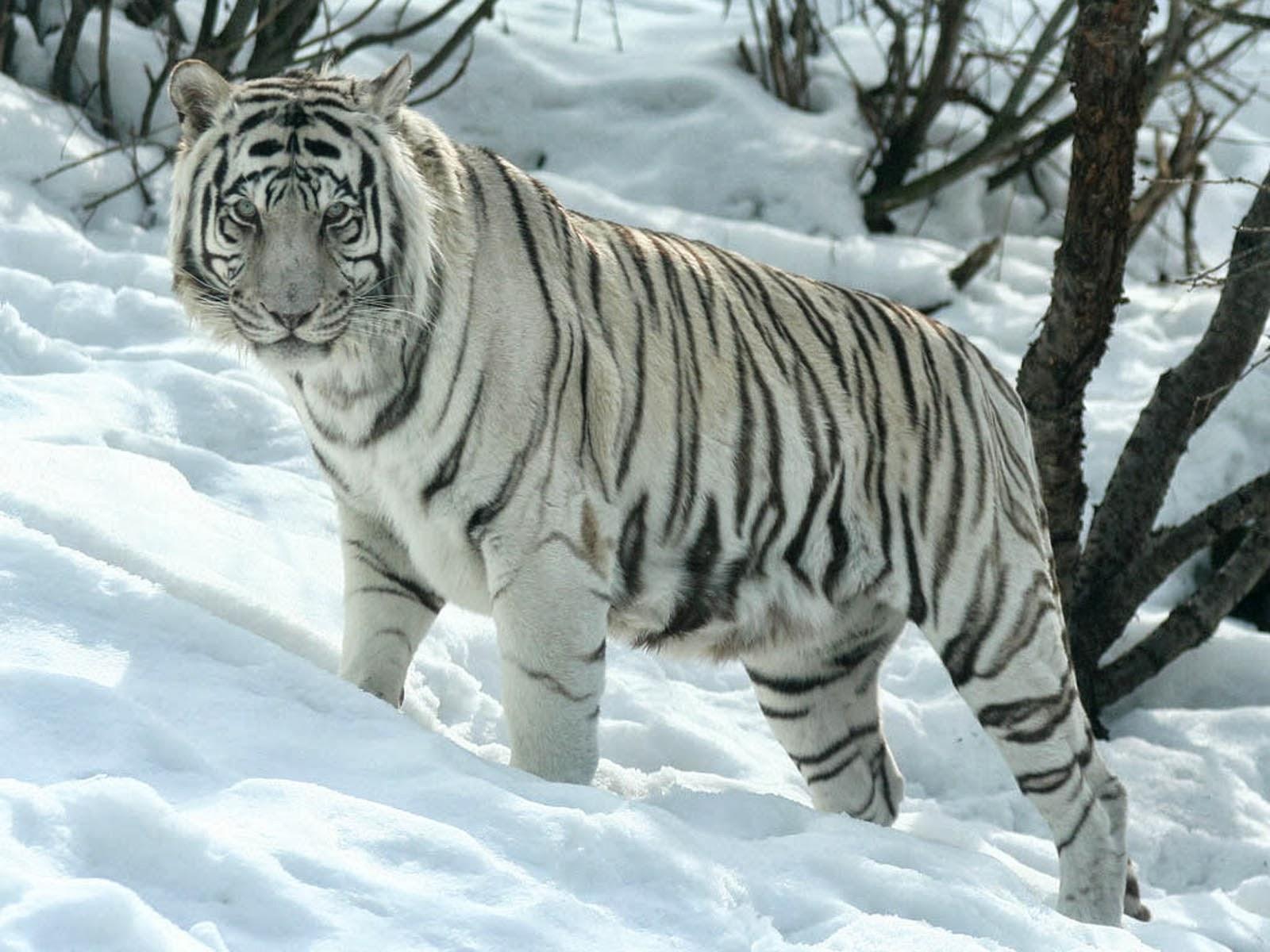 white tiger wallpapers white tiger desktop wallpapers white tiger 1600x1200