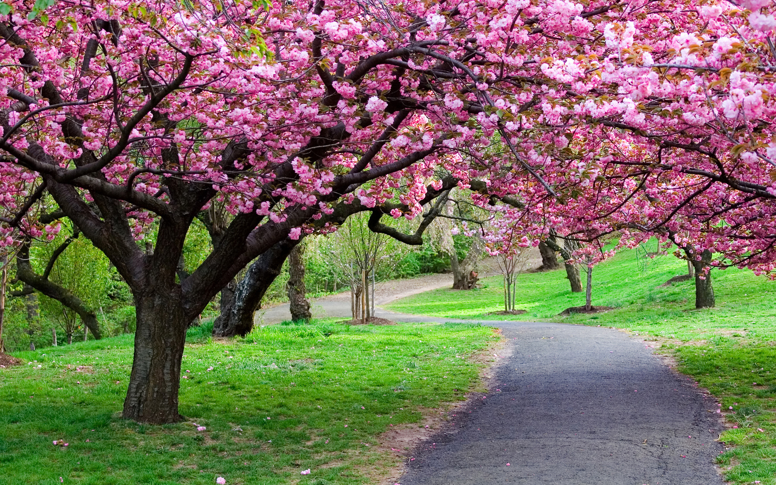 Park Sakura Spring in the garden wallpapers and images   wallpapers 2560x1600