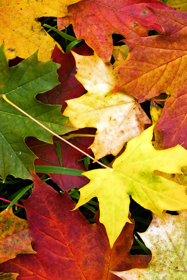 FREEIOS7 autumn leaves fall   parallax HD iPhone iPad wallpaper 640x960