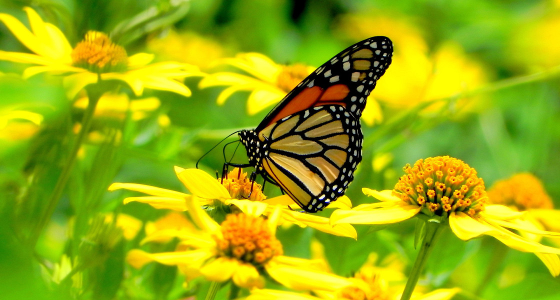 yellow flowers and a butterfly wallpapers55com   Best Wallpapers 1120x600