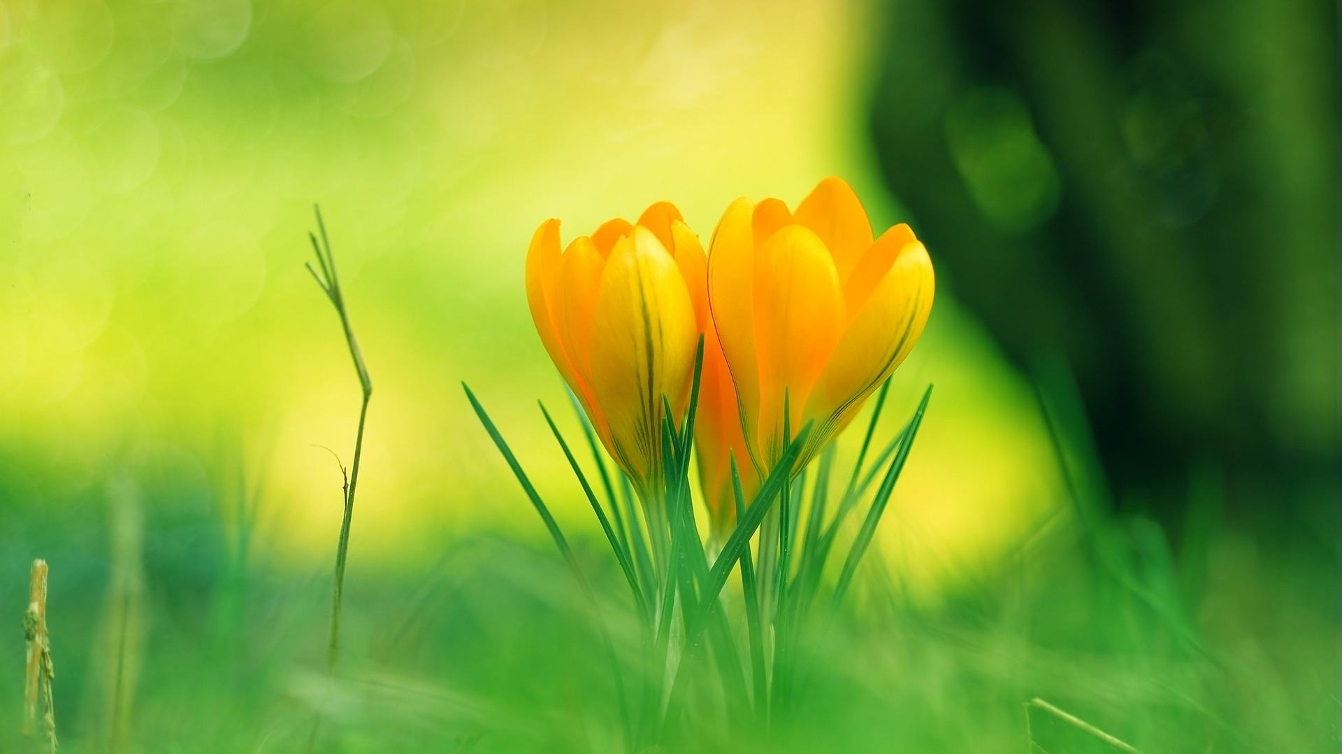 wallpaper flowers baby yellow flower wallpapers images 1920x1080
