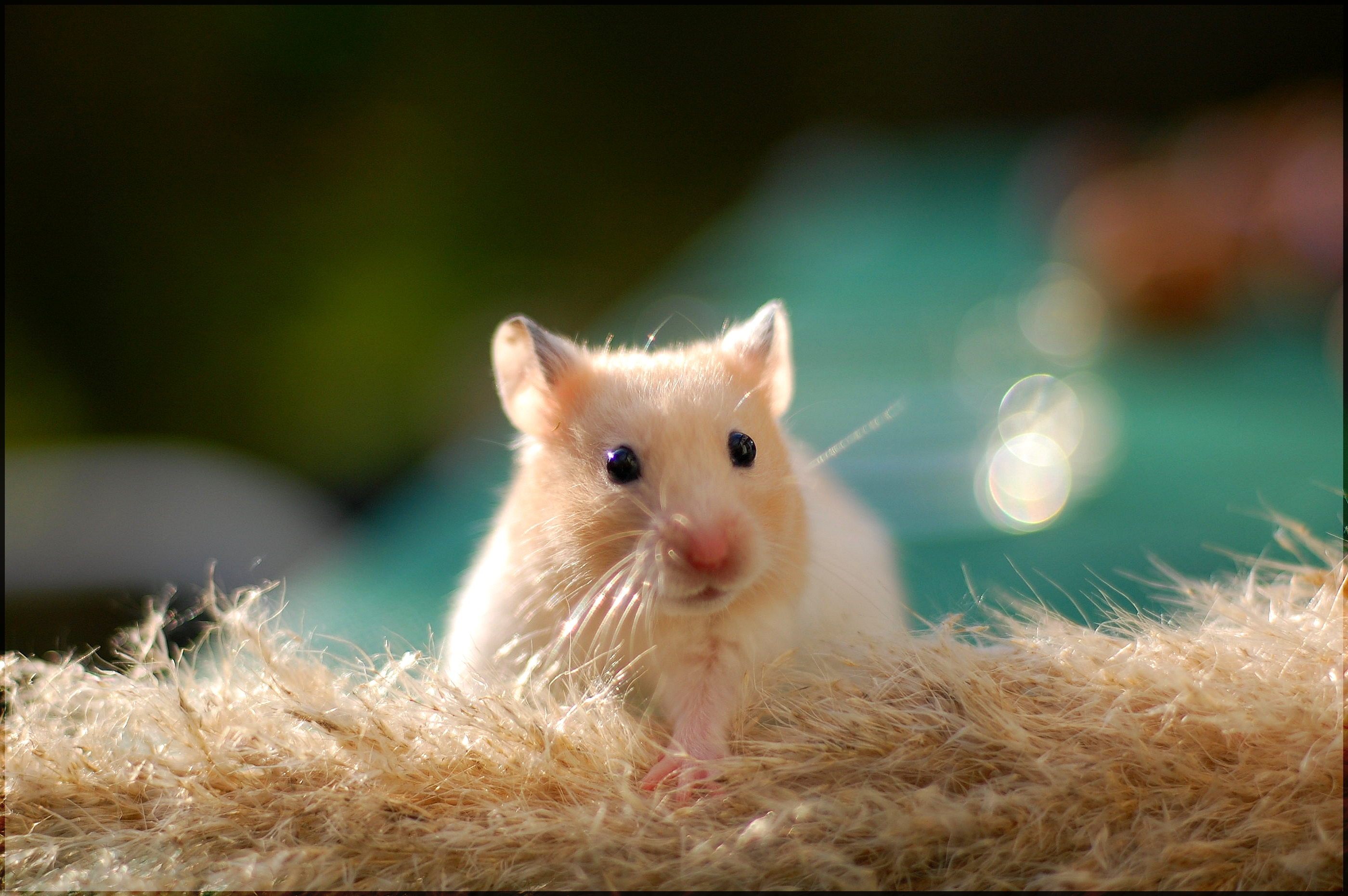 Cute Golden Hamster HD wallpaper   Cute Golden Hamster 2800x1862