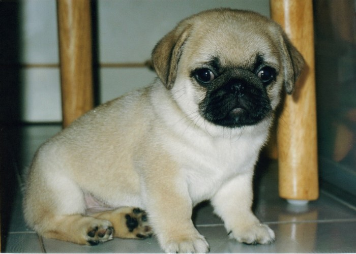 Funny wallpapersHD wallpapers cute pug puppies 700x500