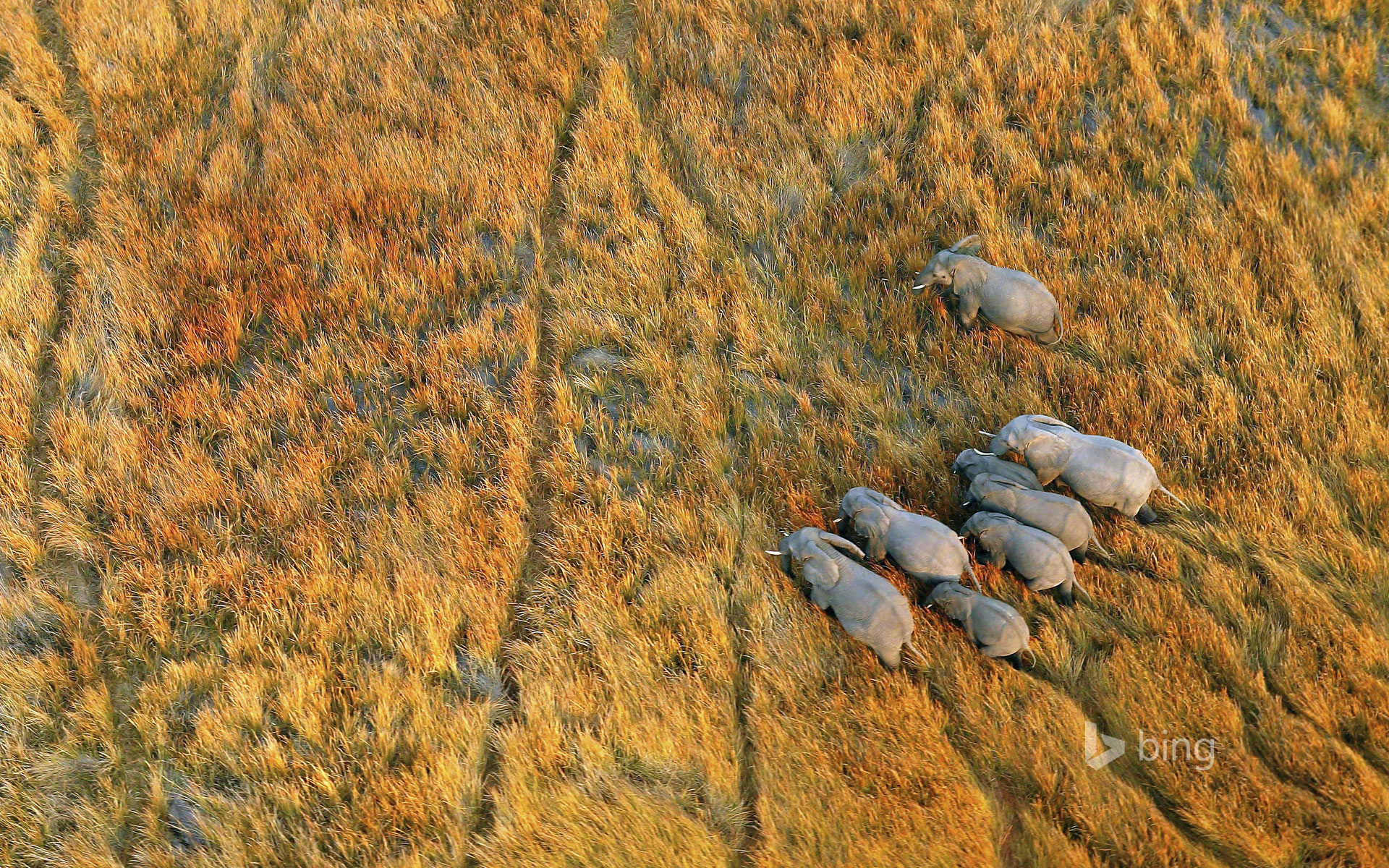 Elephants in the Okavango Delta Botswana Michael PolizaGetty 1920x1200