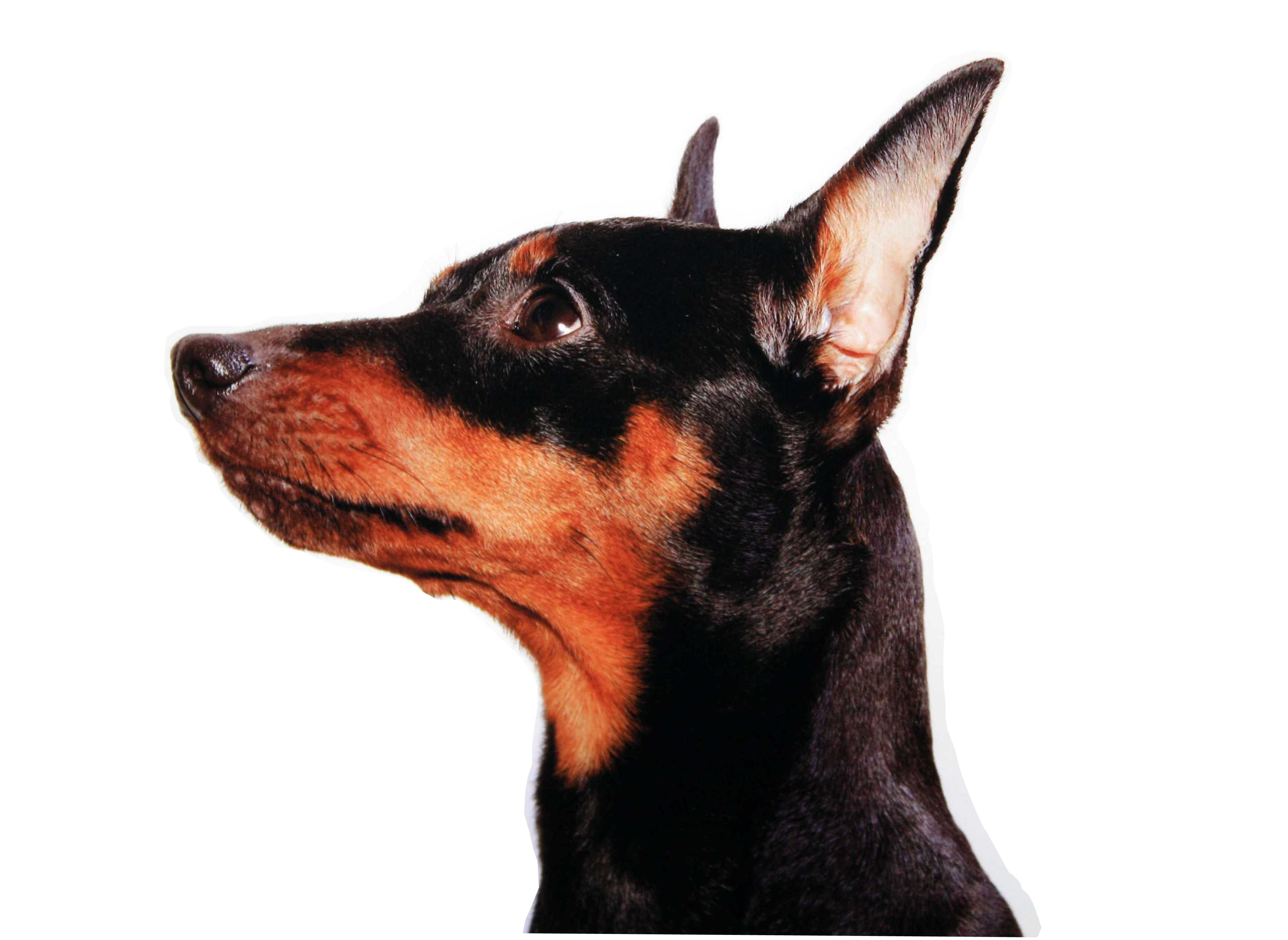 Miniature Pinscher face close up wallpapers and images 3822x2789