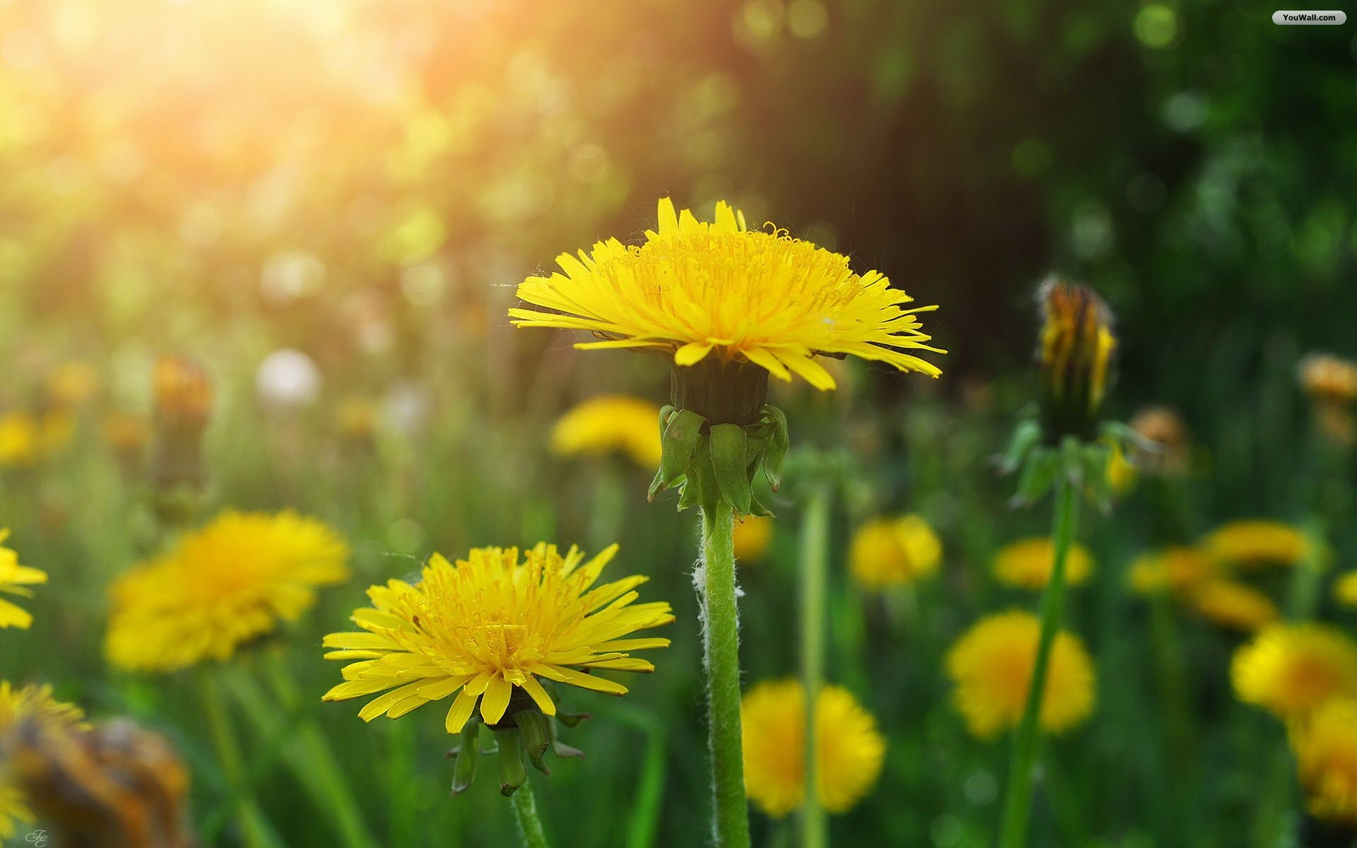 youwallcomwallpapers201208dandelions wallpaperjpg 1920x1200