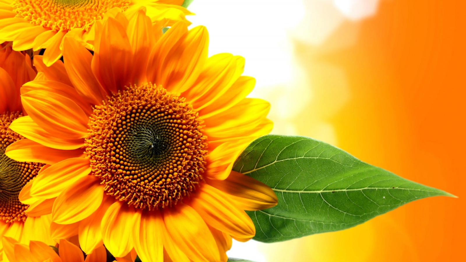 34+ Autumn Sunflower Desktop Wallpaper on WallpaperSafari
