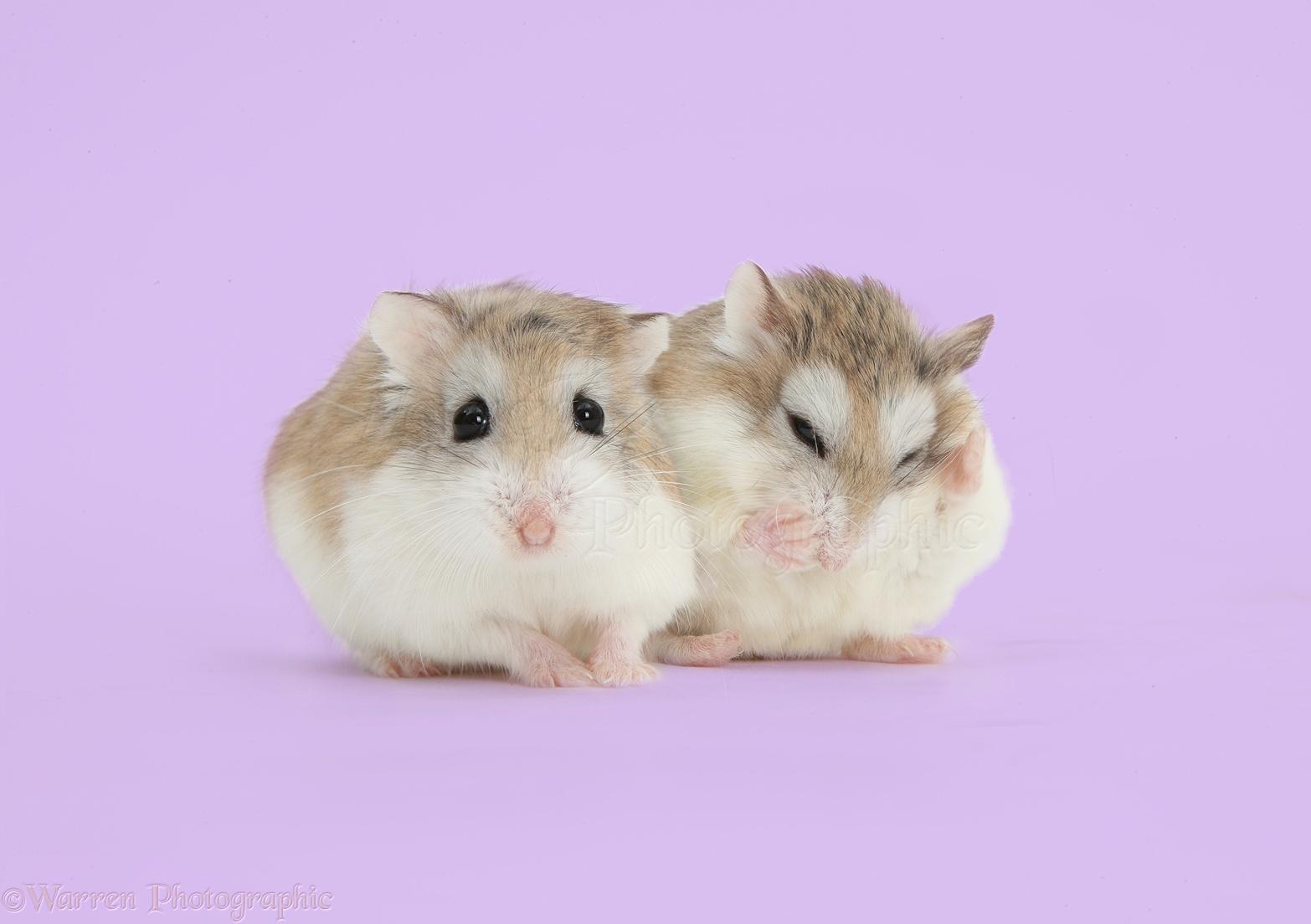 Roborovski Hamsters on lilac background photo WP41627 1566x1104