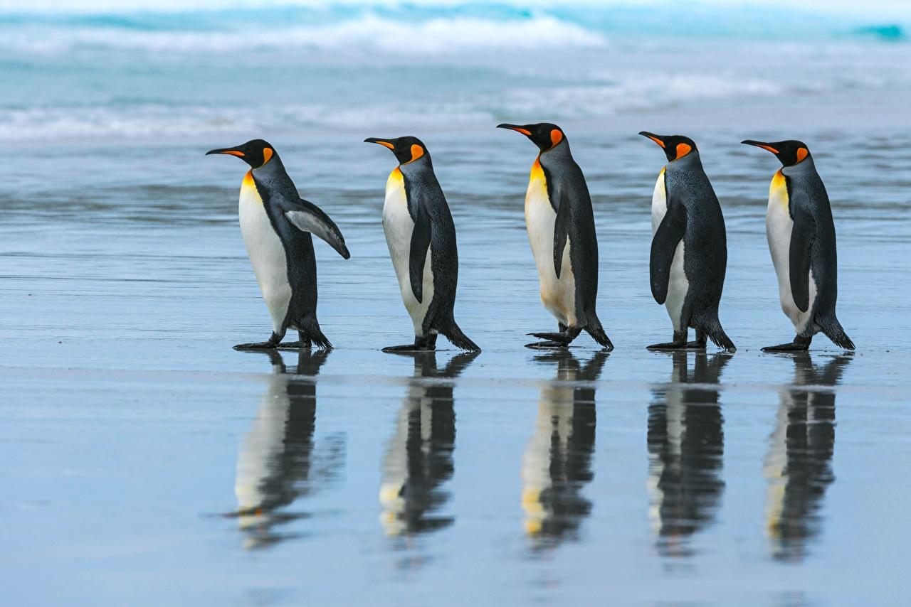 Wallpaper Penguins 5 King penguin Stroll Animals 1280x854