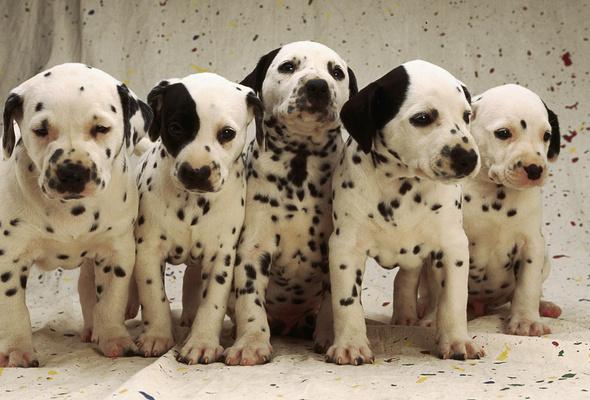 with Dalmatian Wallpapers from below HD gallery Cute Dalmatian   m5x 590x400