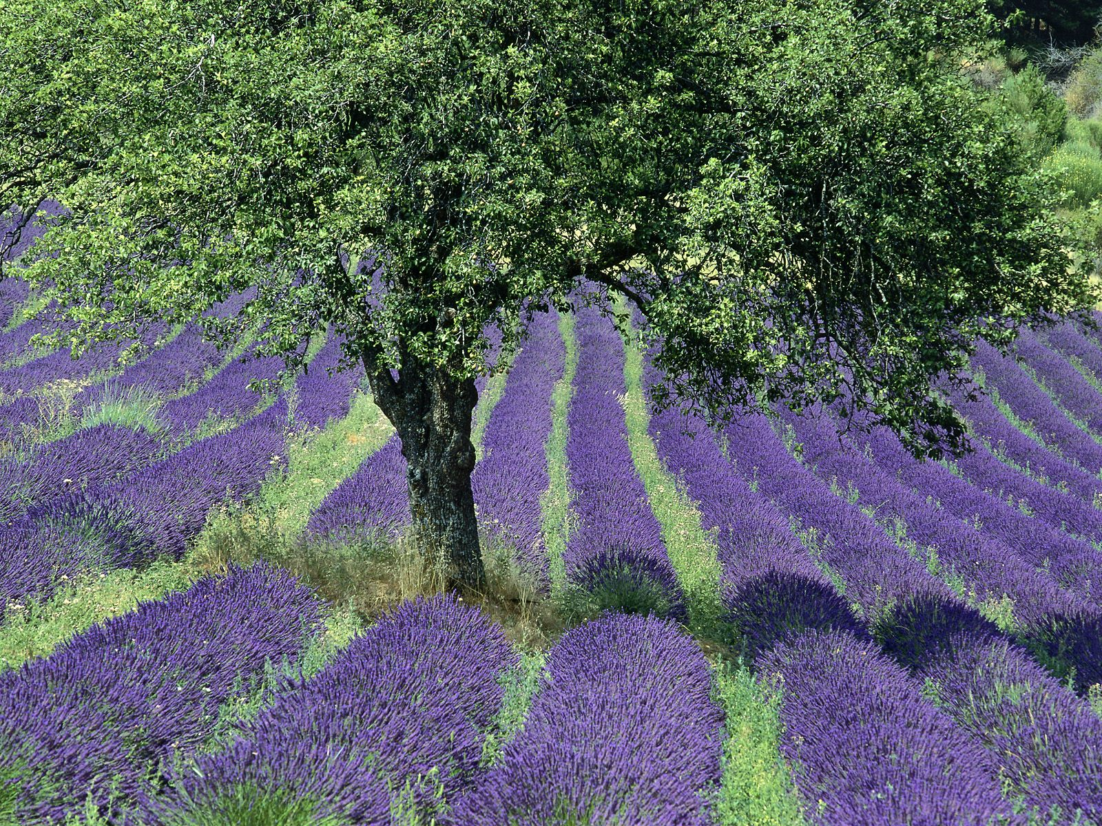 HQ Lavender Field Provence France Wallpaper   HQ Wallpapers 1600x1200