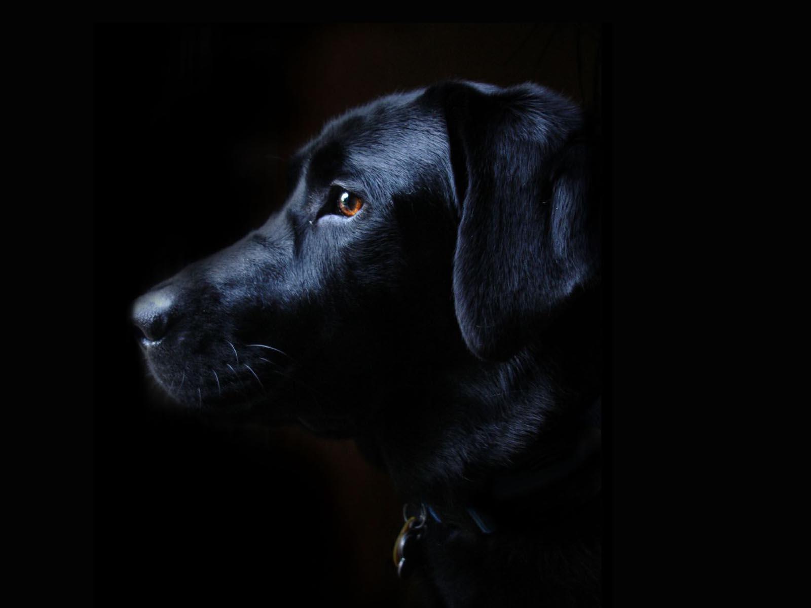 labrador retriever black dog free wallpaper 1600x1200 1600x1200