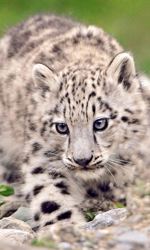 Snow leopard wallpaper hd wallpapersafari snow leopard hd live wallpapers live wallpapers hd for android free voltagebd Image collections