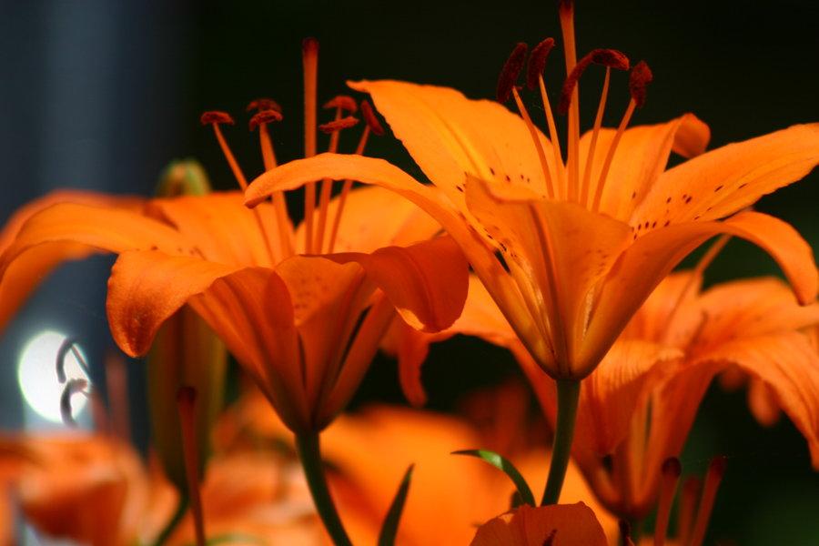 Orange Tiger Lily by wolfgoddess023 900x600