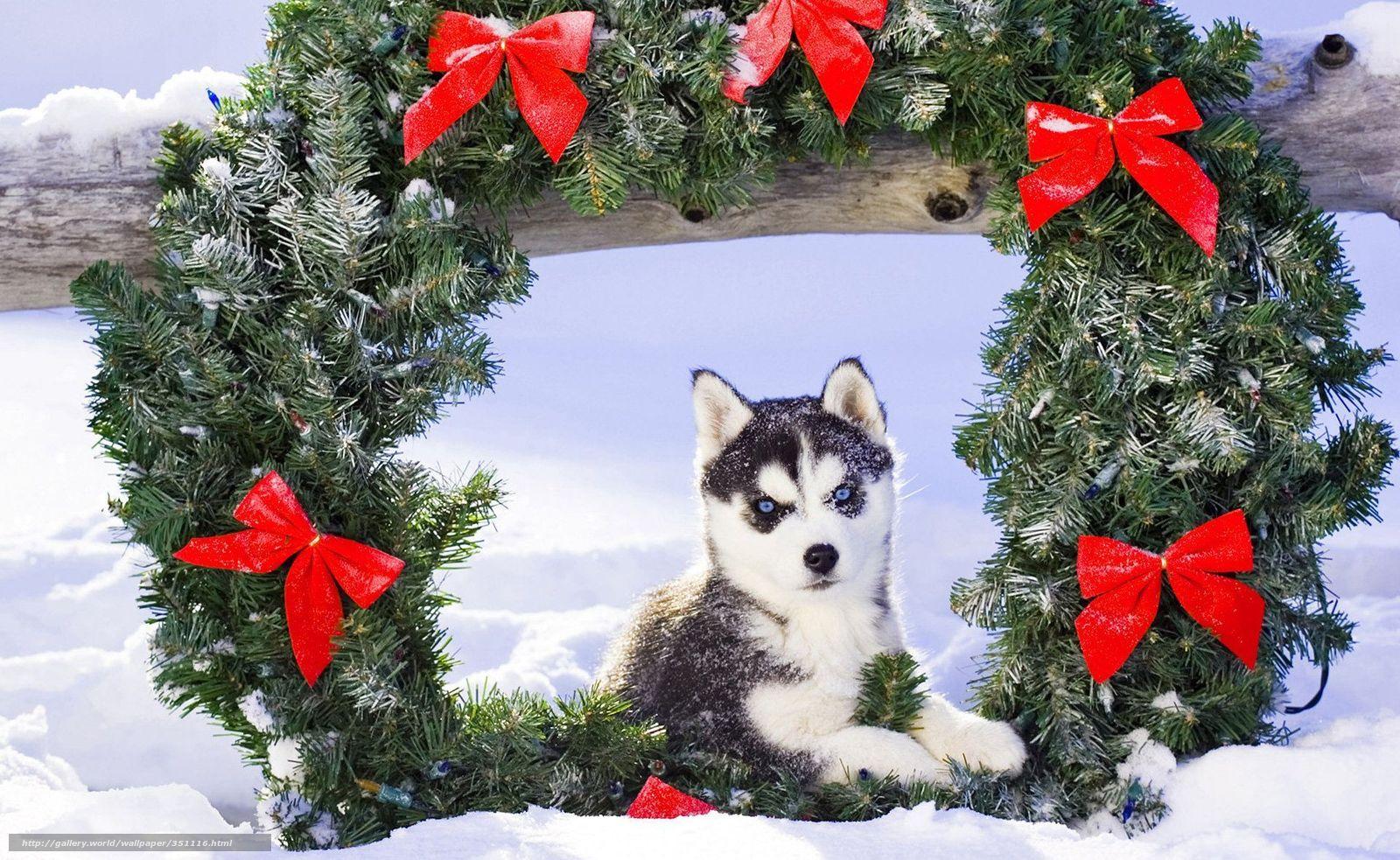 wallpaper puppy, Husky, snow, Christmas free desktop wallpaper ...