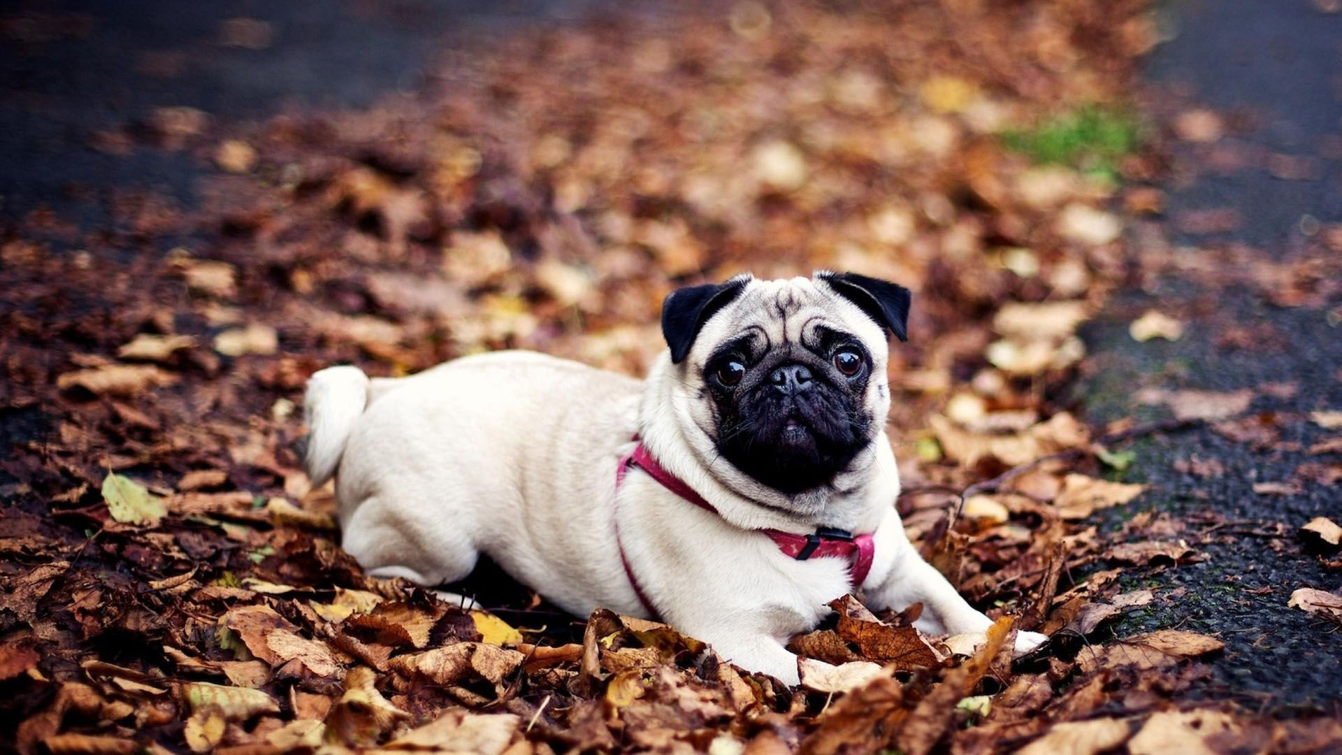 Pug Hd Wallpaper Cute Desktop Background Hd Wallpapers Of Pug Dog 1920x1080