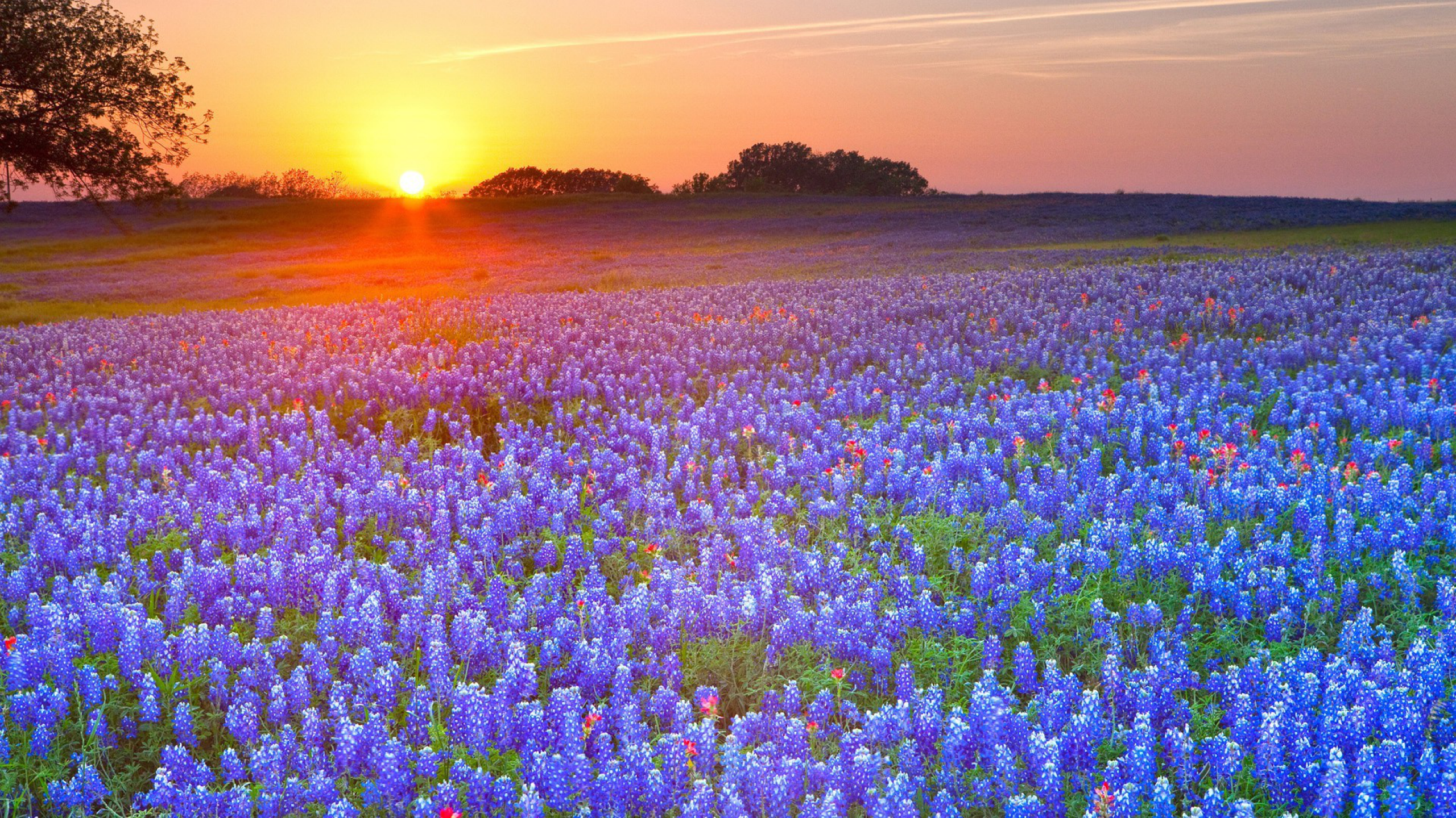5 Texas Bluebonnets HD Wallpapers Background Images   Wallpaper 2560x1440