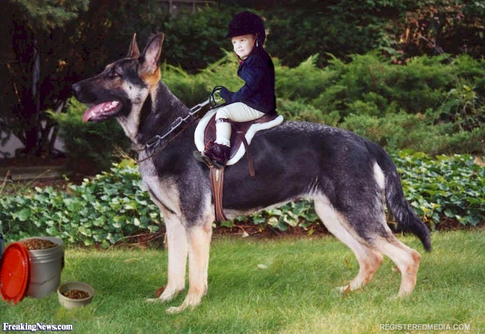German Shepherd Dog Pictures   Freaking News 1000x688