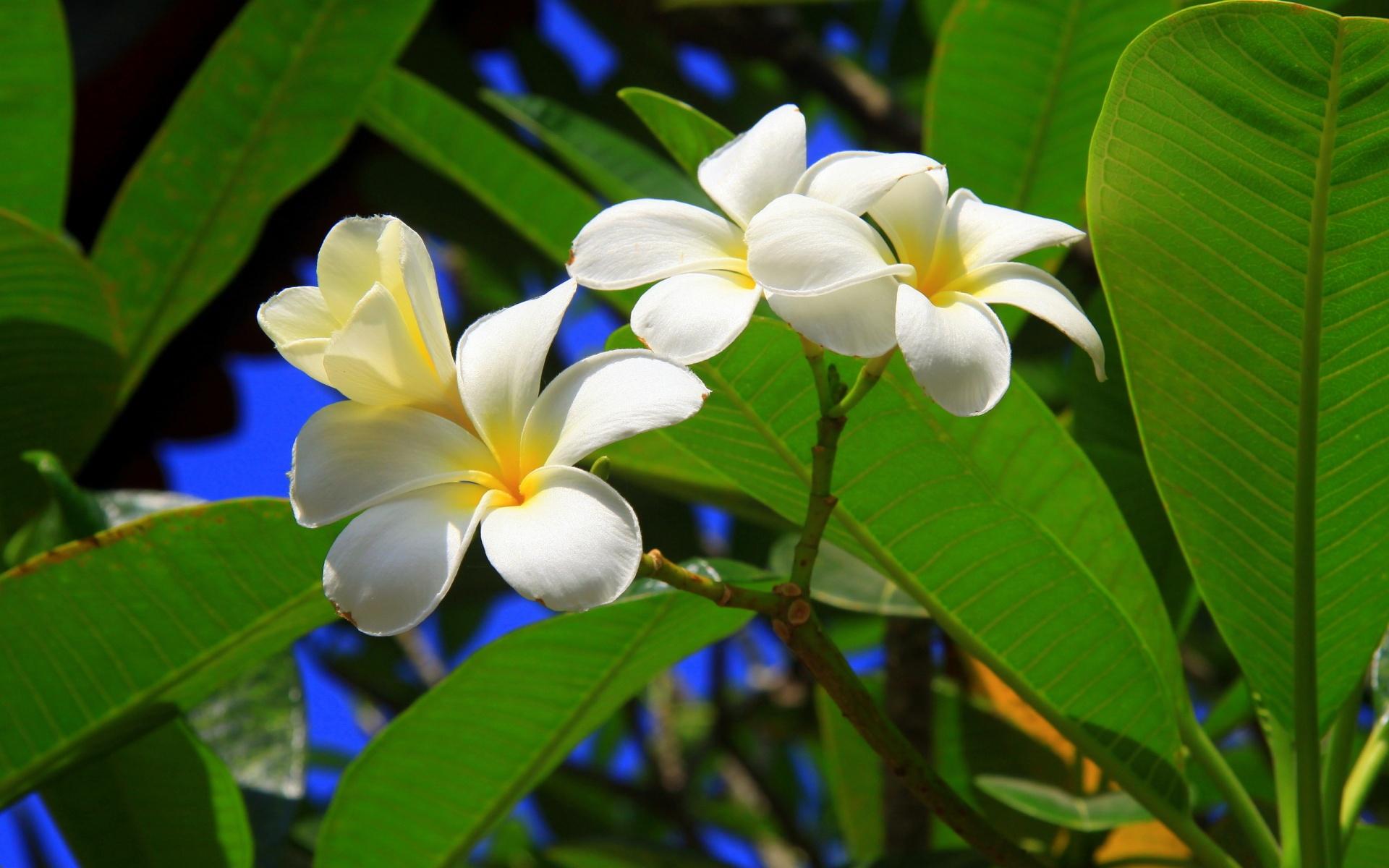 Download Tropical Flowers Wallpaper Desktop Wallpapers 1920x1200