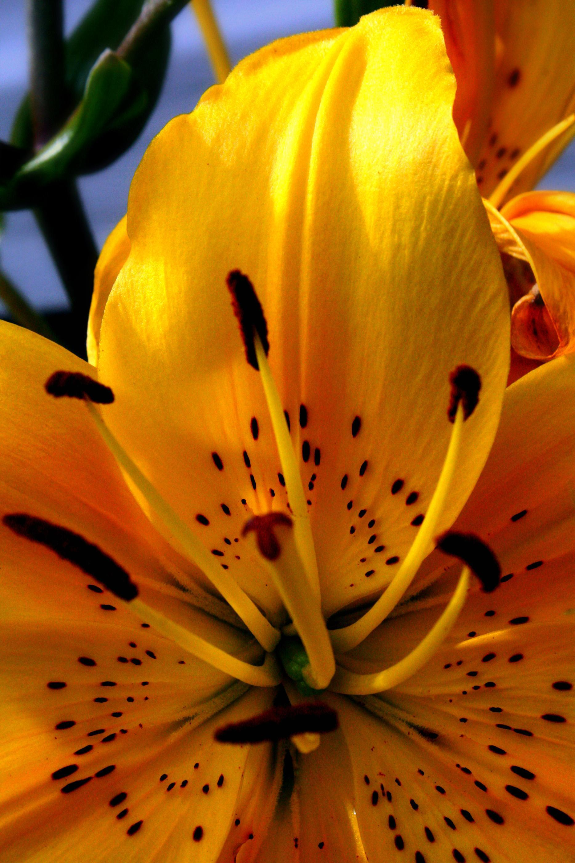 Tiger Lily Wallpapers 1867x2800