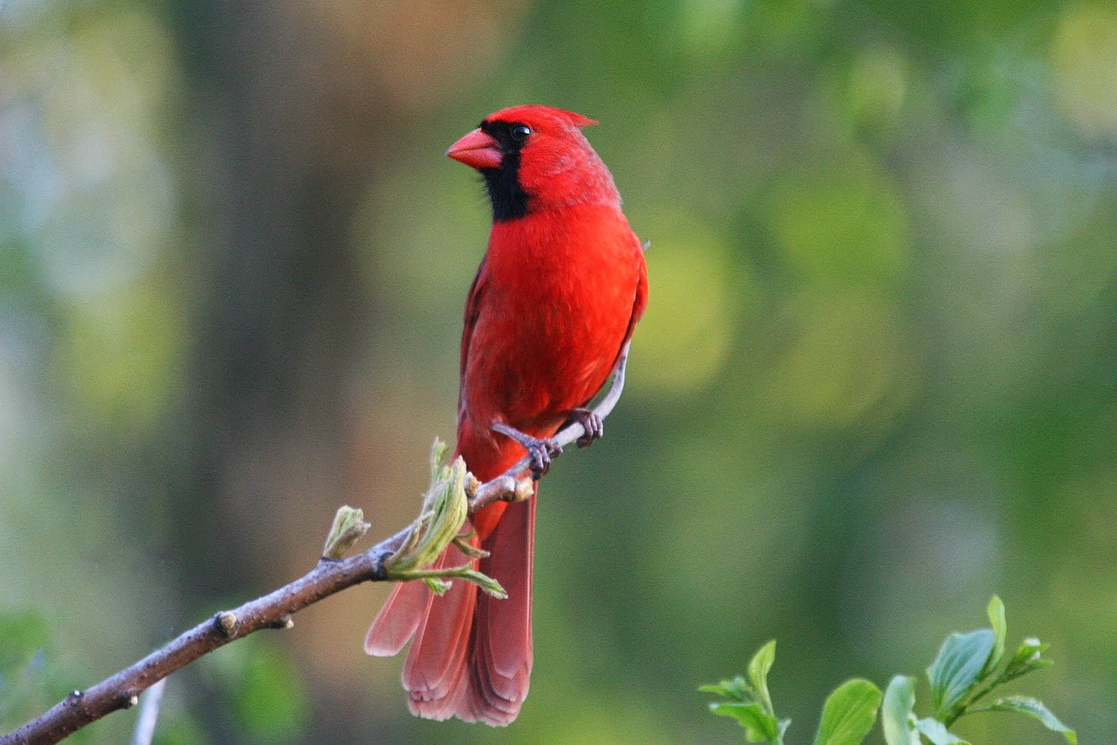 Beautiful Cardinal Minnesota Birds Photo Wallpaper Birds 1600x1067