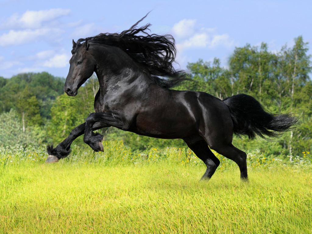 Zoo Park 12 Black Horse Wallpapers Black Horses Beautiful Wallpapers 1024x768