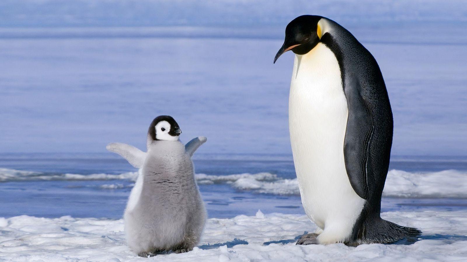 Emperor Penguin and Chick Wallpaper   Wallpaper Stream 1600x900