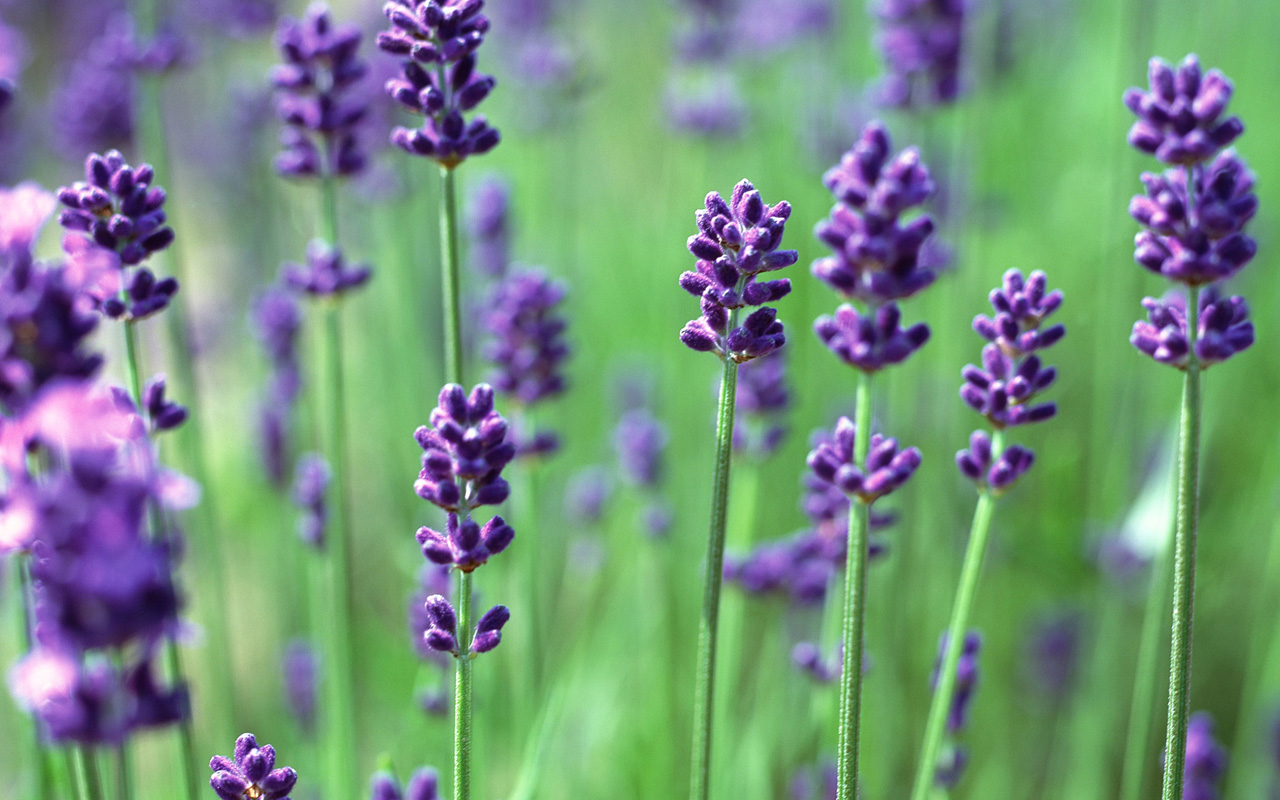 Lavender Wallpaper HD Wallpaper Downloads 1280x800