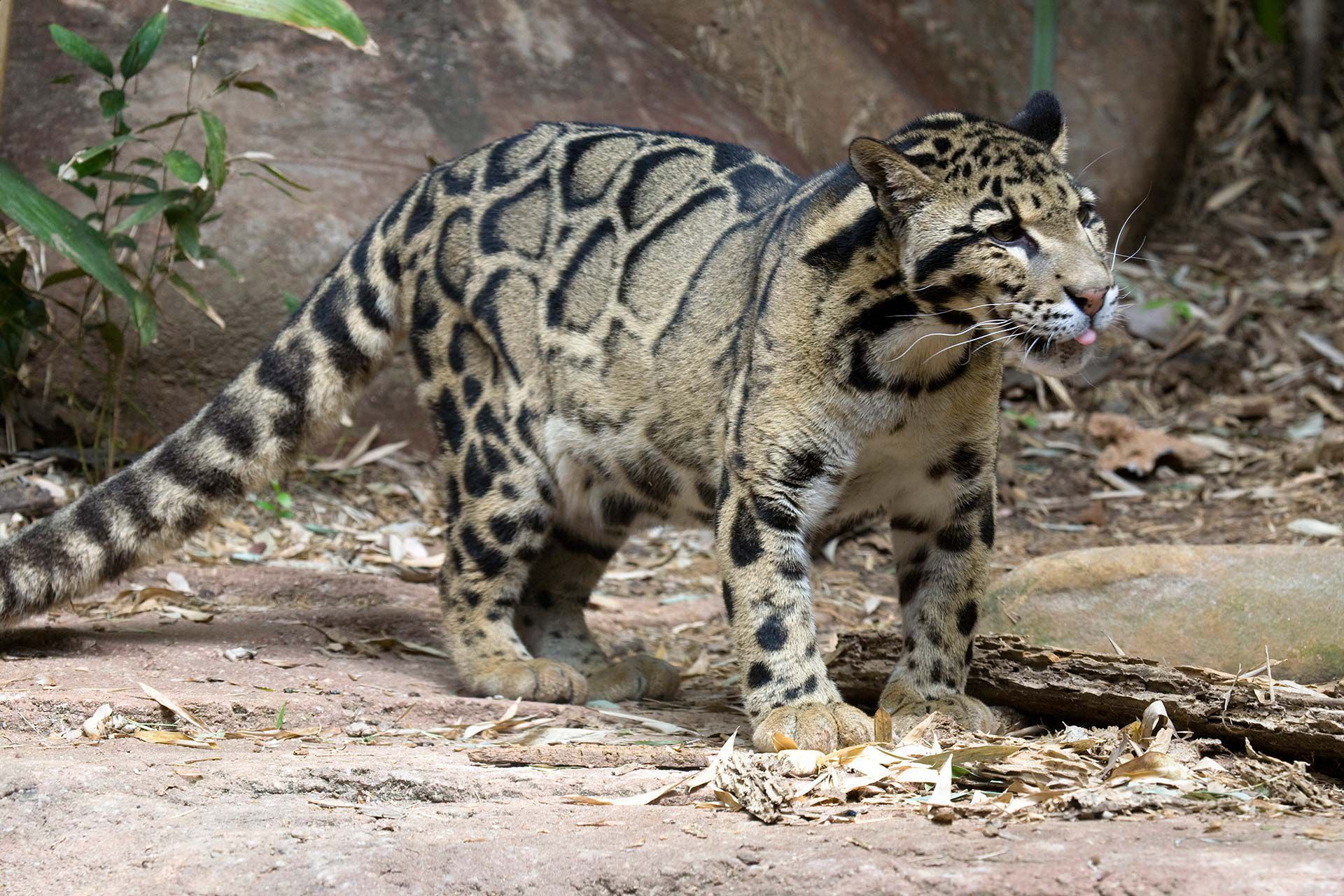 Clouded Leopard Wallpapers Backgrounds 1920x1280