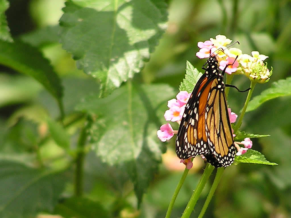 Funny Pictures Gallery Monarch butterfly wallpaper 1024x768