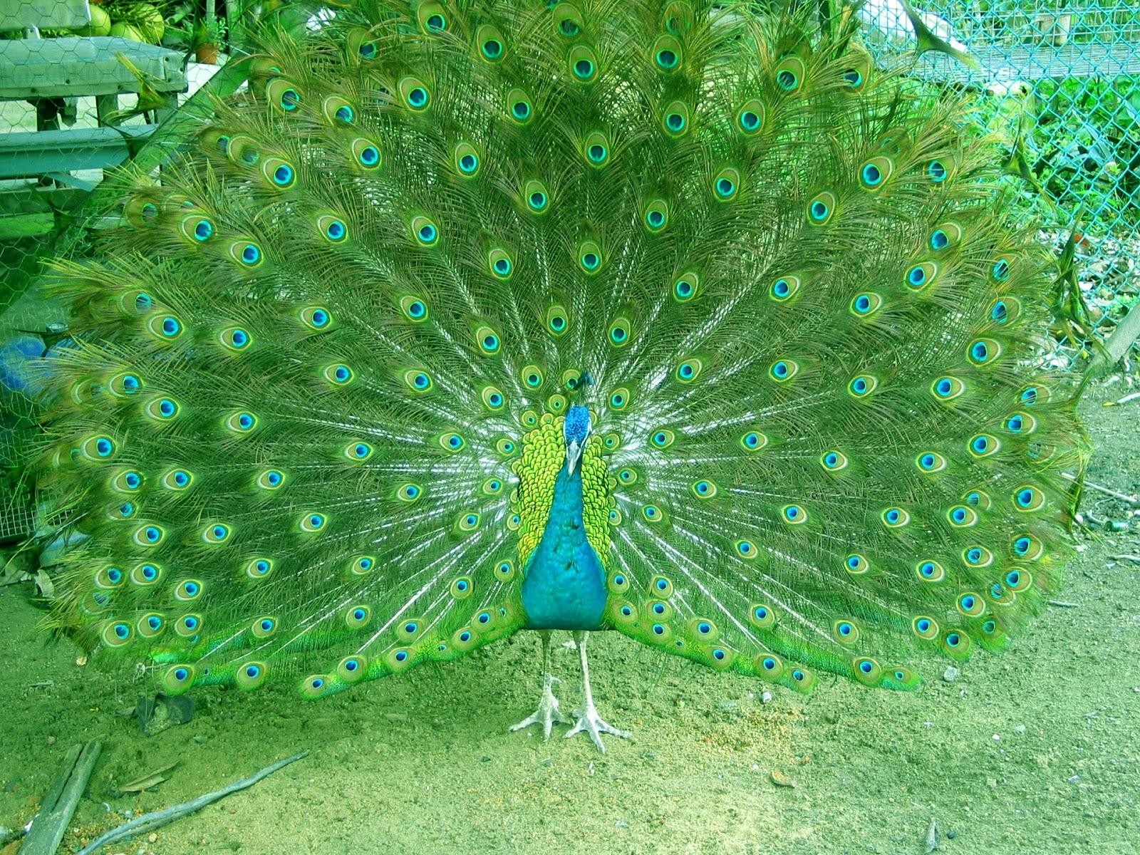 World Most Beautiful Bird Peacock Wallpapers SA 1600x1200