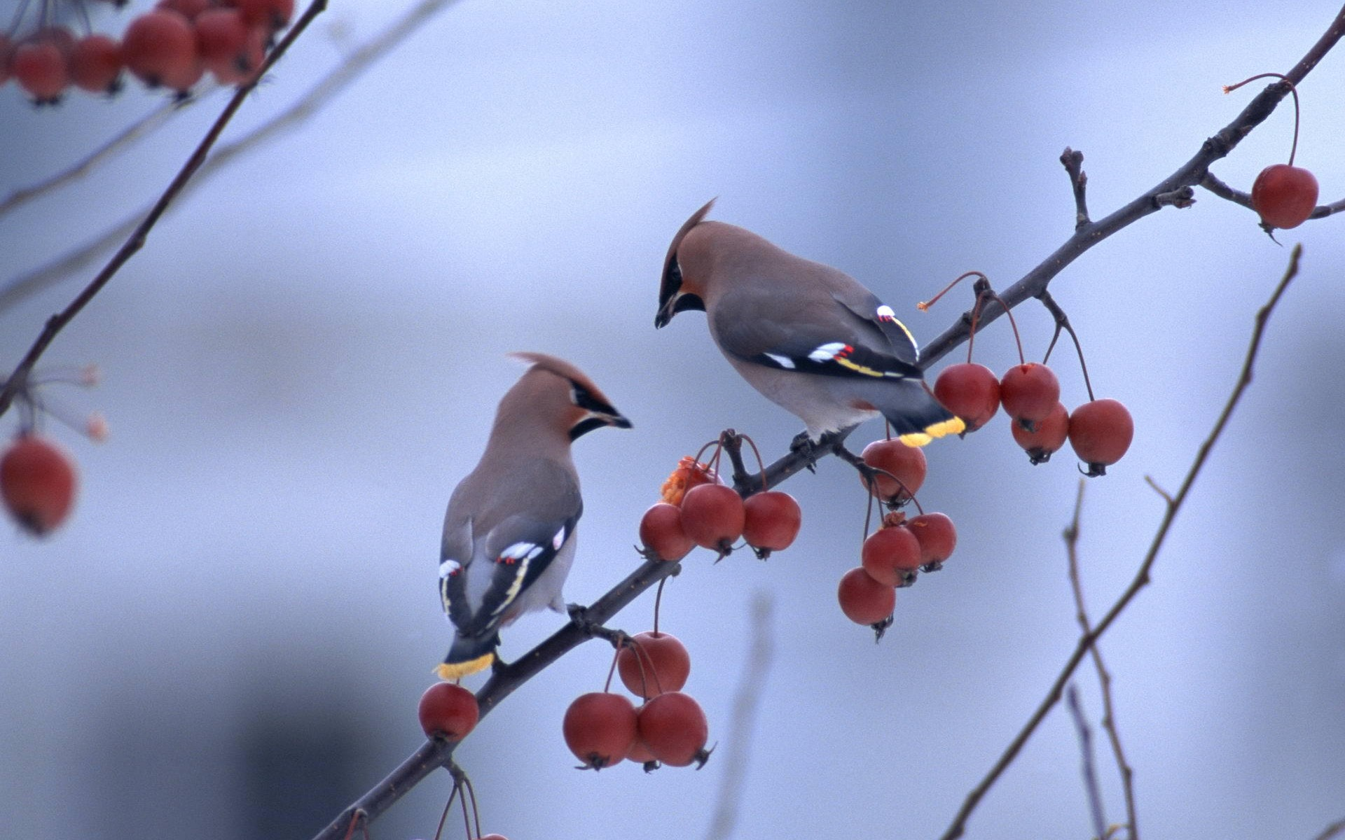 Bird branch close up birds branches berries wallpaper 1920x1200 1920x1200