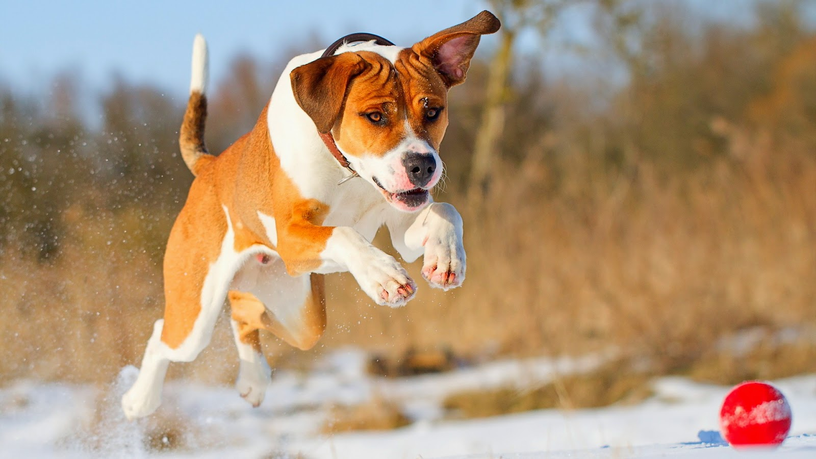 <b>Free</b> Blue <b>Pitbull</b> Puppies | <b>Free</b> Download <b>Dogs Wallpapers</b> Cute ...
