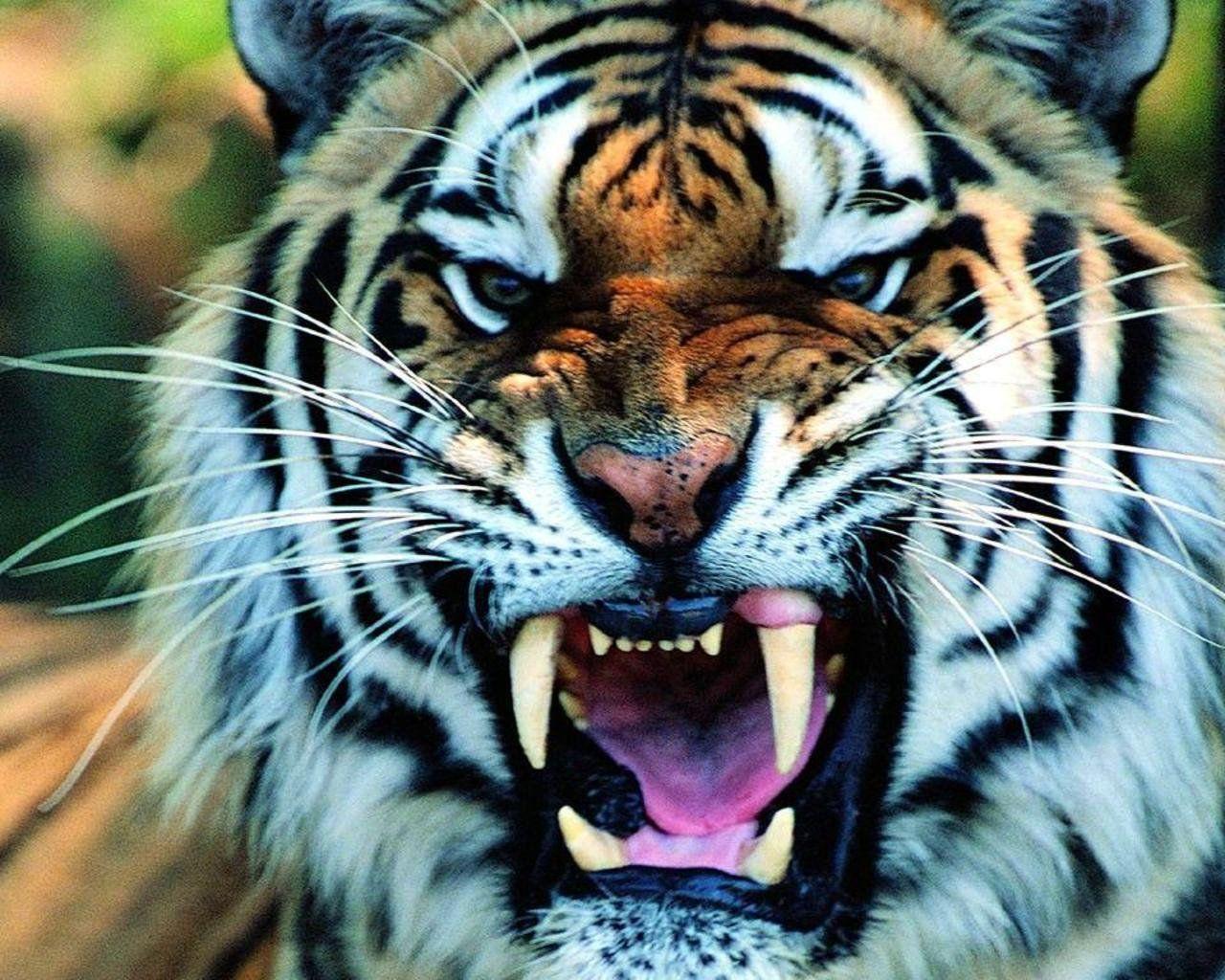 Tiger Wallpaper Mobile Tiger wallpaper Pet tiger Tiger 1280x1024