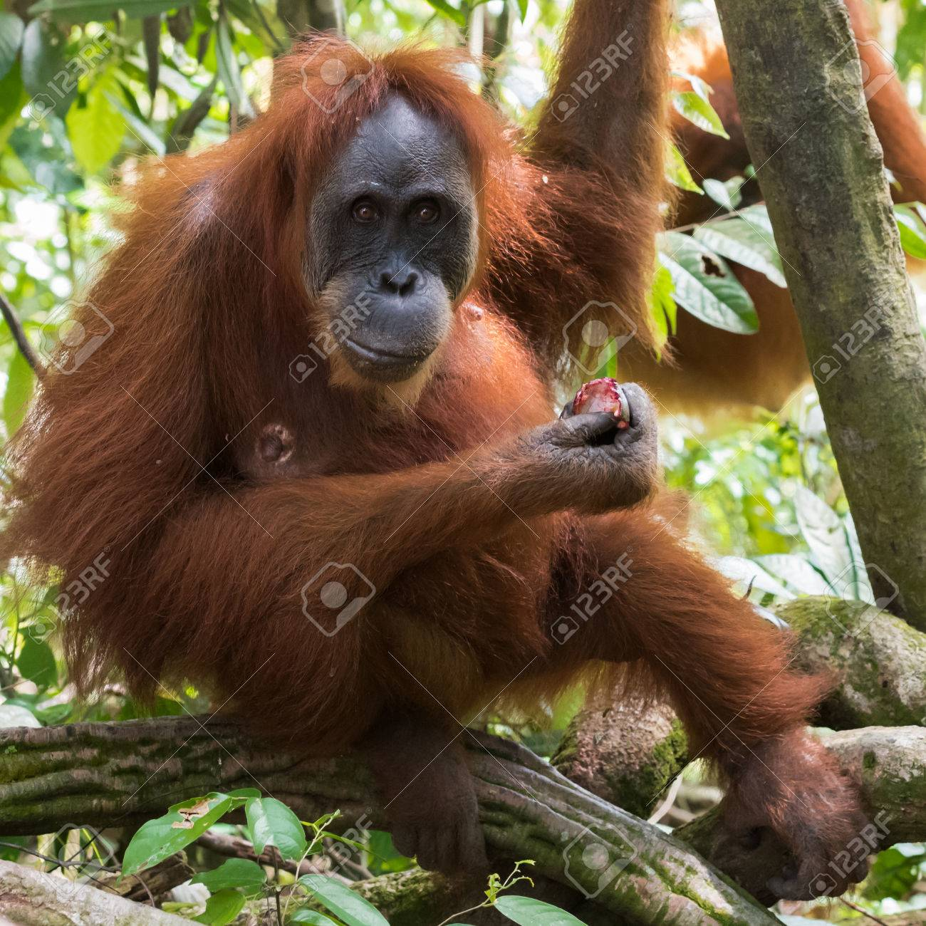 Adult Hairy Orangutan Dine And Hang On The Branches On The 1300x1300