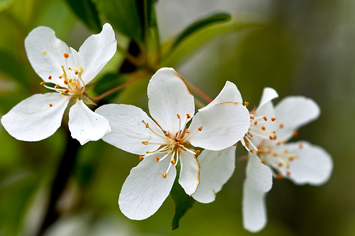 Apple Blossom Wallpapers Wallpaper Bonzy 700x465