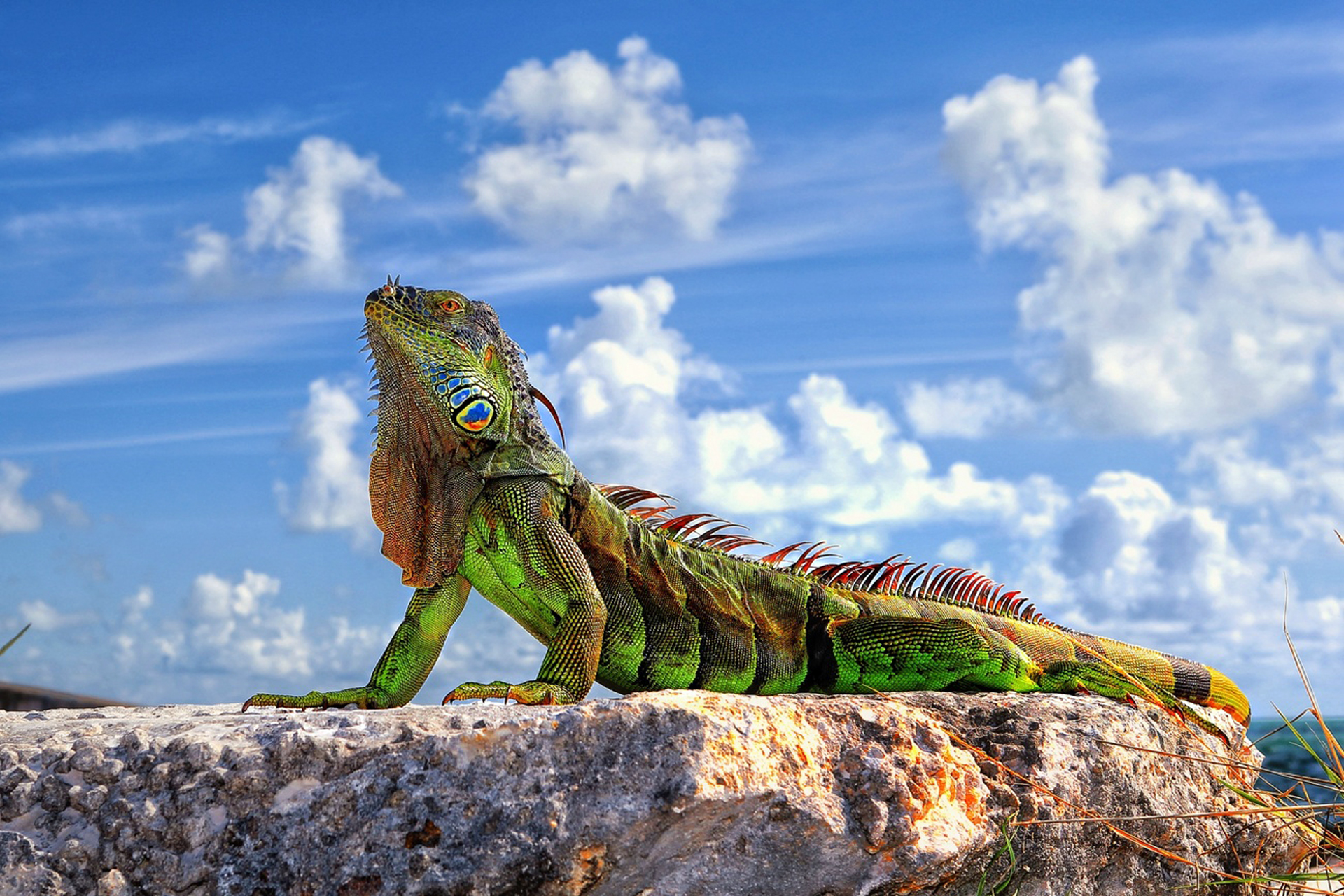 Iguana HD Wallpaper Background Image 1920x1280 ID357994 1920x1280