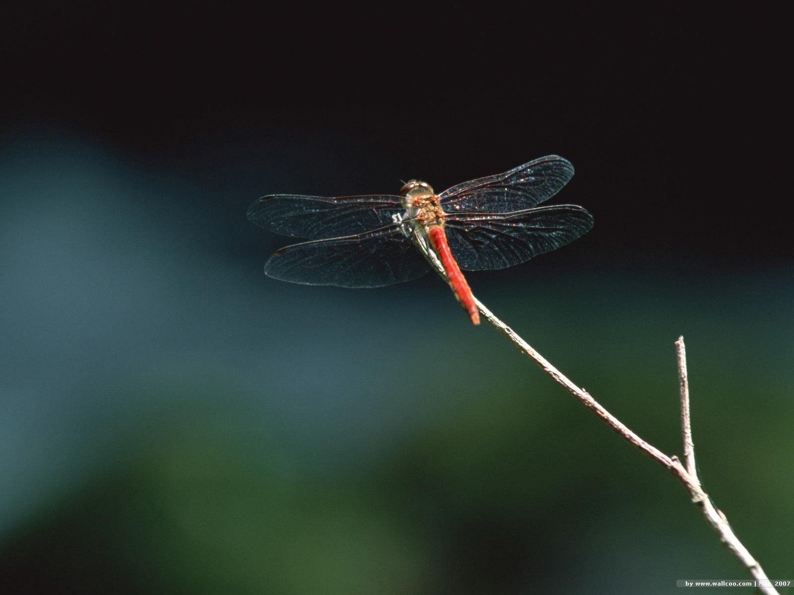 dragonfly wallpaper dragonfly EA55114jpg 1600x1200